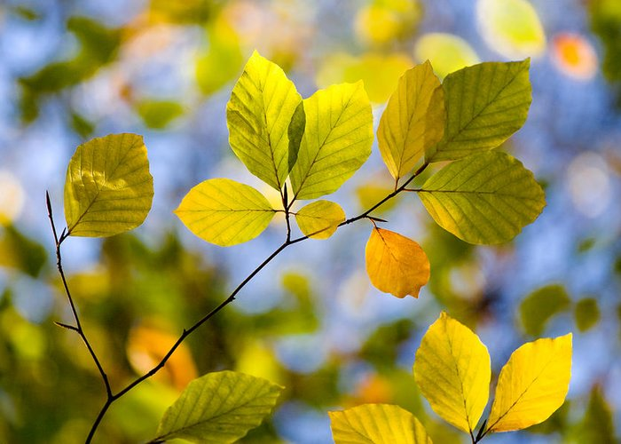 Autumn Greeting Card featuring the photograph Sunlit Autumn Leaves by Natalie Kinnear