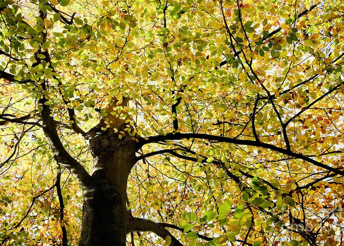 Botanical Greeting Card featuring the photograph Sunlit Autumn Tree by Natalie Kinnear