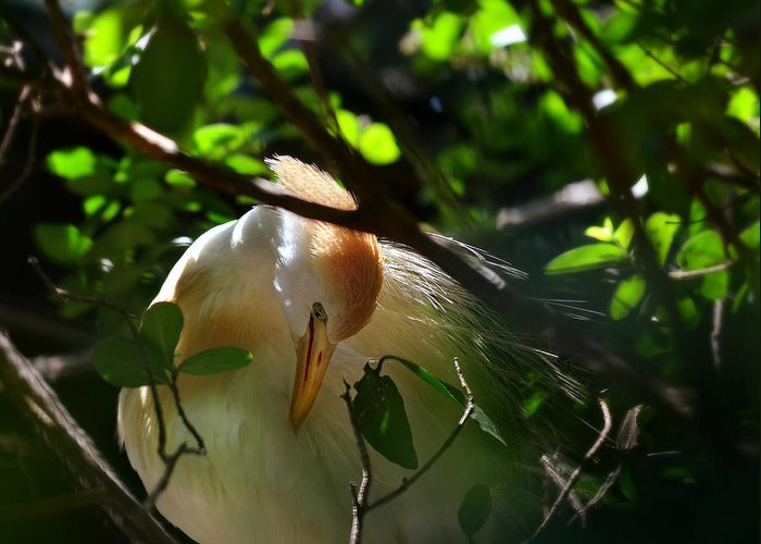 Egret Greeting Card featuring the photograph Sunlit Egret by Laura Fasulo