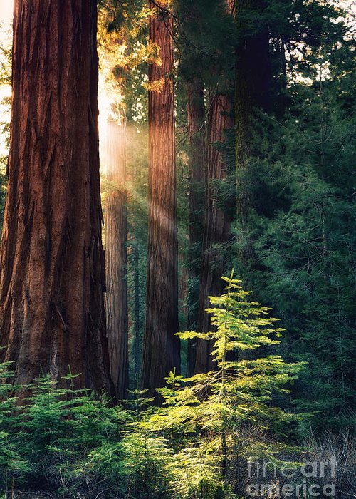 Redwood Greeting Card featuring the photograph Sunlit from Heaven by Jane Rix