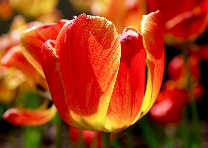 Orange Greeting Card featuring the photograph Sunlit Tulips by Rona Black