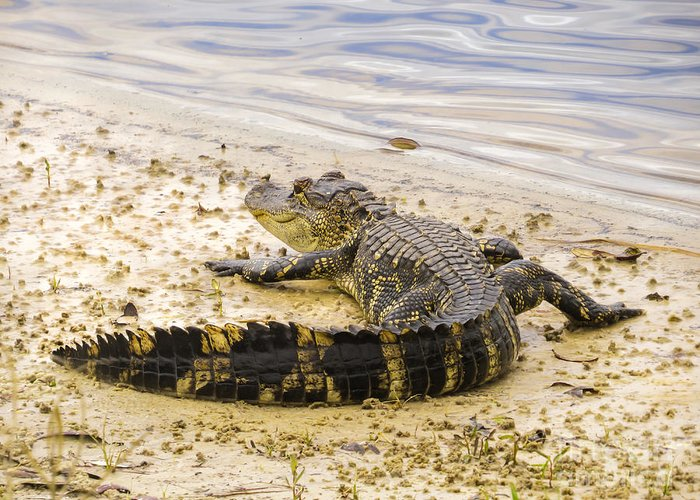 Alligator Greeting Card featuring the photograph Sunning On The Shore by Zina Stromberg