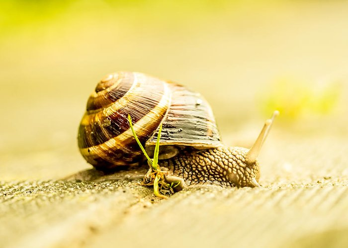 Snail Greeting Card featuring the photograph Sunny Snail by Daniel Daniel