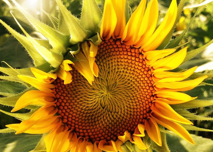 Sunflowers Greeting Card featuring the photograph Sunny Sunflower by Chris Scroggins