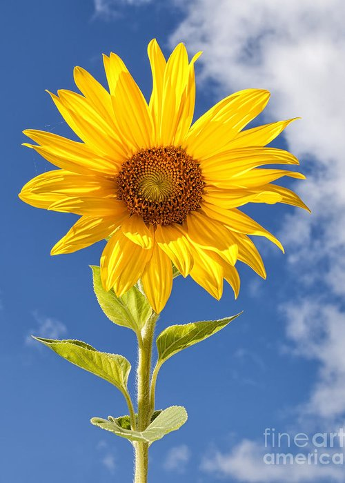 Flower Greeting Card featuring the photograph Sunny Sunflower by Joshua Clark