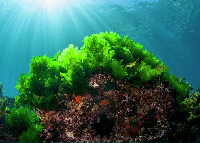 Kelp Forest Greeting Cards
