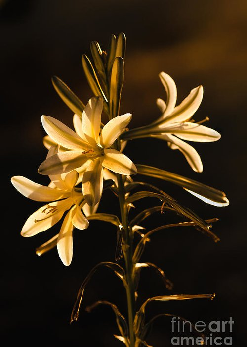Arizona Greeting Card featuring the photograph Sunrise Ajo Lily by Robert Bales