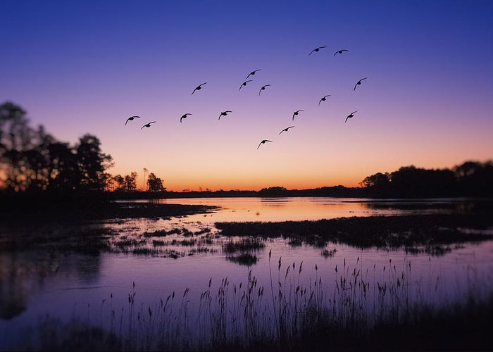 Flying Snow Geese Greeting Cards
