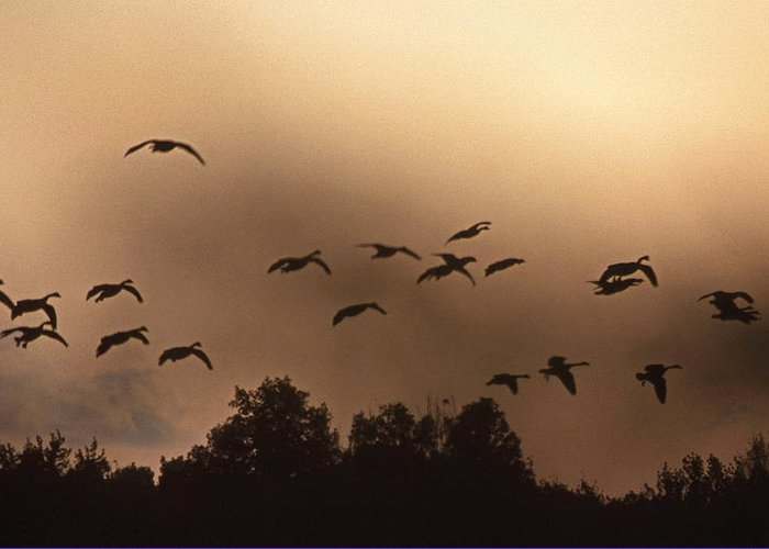 Geese Greeting Card featuring the photograph Sunrise Fog And Incoming by Skip Willits