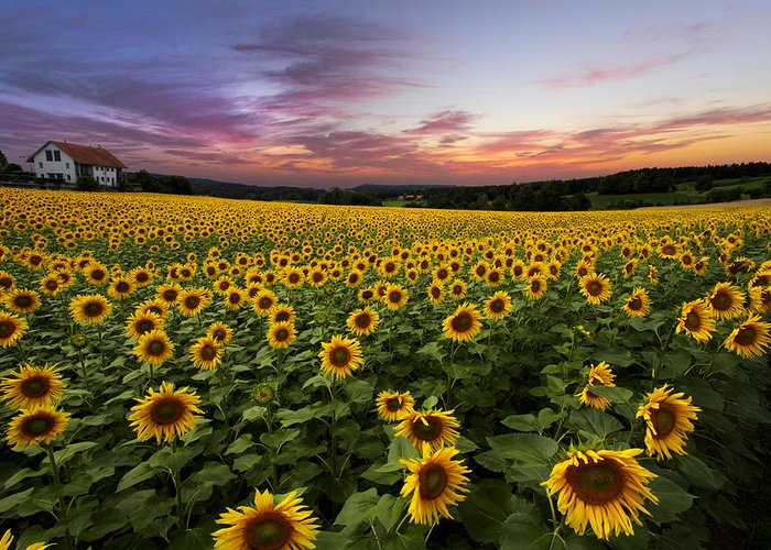 Appalachia Greeting Card featuring the photograph Sunset Sunflowers by Debra and Dave Vanderlaan