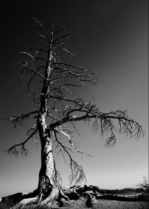 Survival Tree Greeting Card featuring the photograph Survival Tree by Chad Dutson