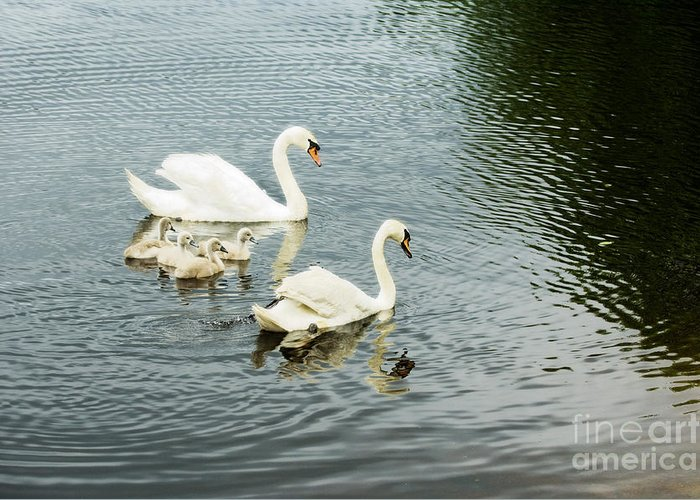 Swans Greeting Card featuring the photograph Swan Family by Jim Calarese