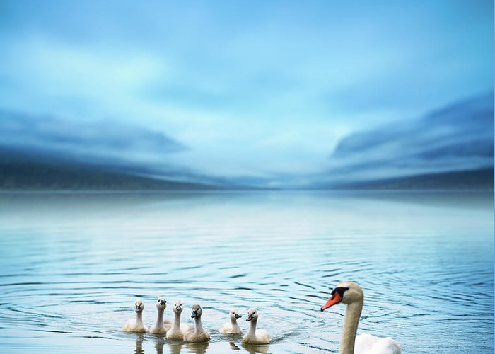 Scenics Greeting Card featuring the photograph Swan Family On The Lake by Borchee