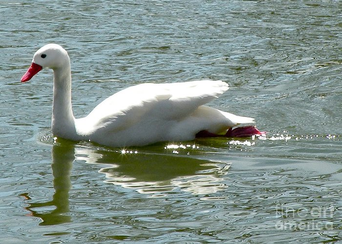 Bird Greeting Card featuring the photograph Swan Reflection by Terry Weaver