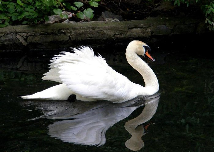 Mute Swan Greeting Card featuring the photograph Swan Reflection by William Fox