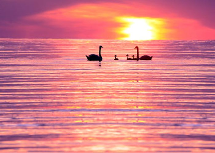 Swans Greeting Card featuring the photograph Swans On The Lake by Jon Neidert