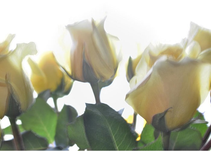 Yellow Roses Greeting Card featuring the photograph Sweet Memories by Tikvah's Hope