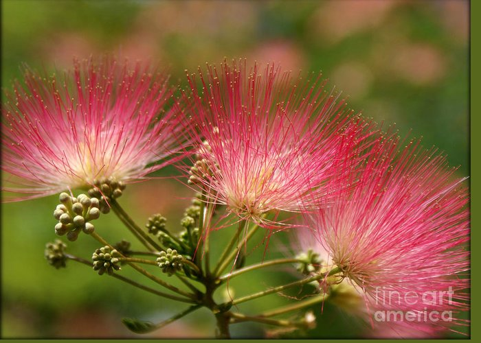 Mimosa Greeting Card featuring the photograph Sweet Mimosa by Kim Yarbrough