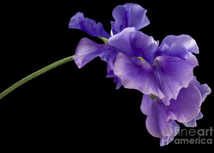 Annual Greeting Card featuring the photograph Sweet Pea Study by Anne Gilbert