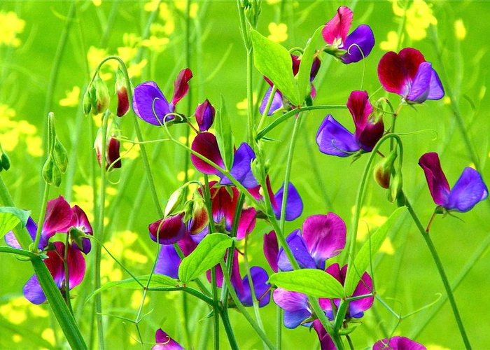 Sweet Pea Flowers Greeting Card featuring the photograph Sweet Peas by Byron Varvarigos