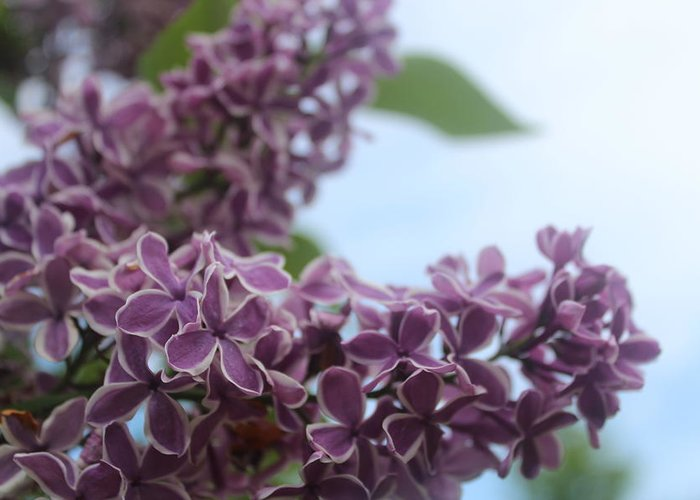 Purple Greeting Card featuring the photograph Sweet Smells by Jennifer Gillis