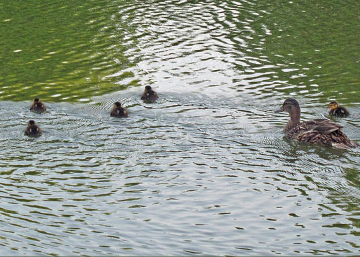 Ducks Greeting Card featuring the photograph Swimming Lessons by Barbara McDevitt