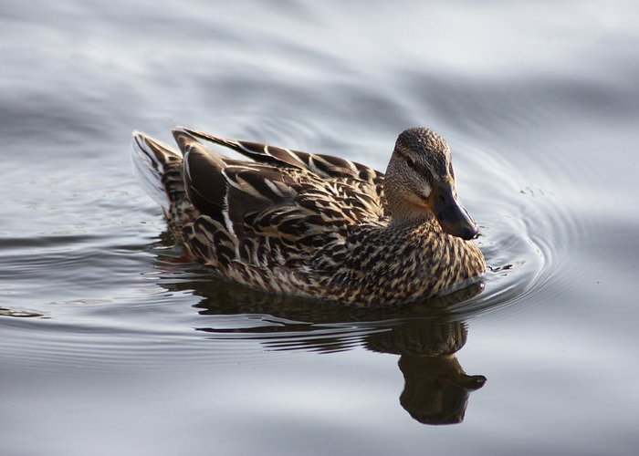 Duck Greeting Card featuring the photograph Swimming On Silver by Richard Stephen