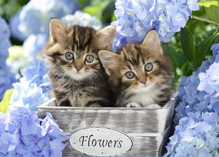 Two Greeting Card featuring the photograph Tabbies by MGL Meiklejohn Graphics Licensing