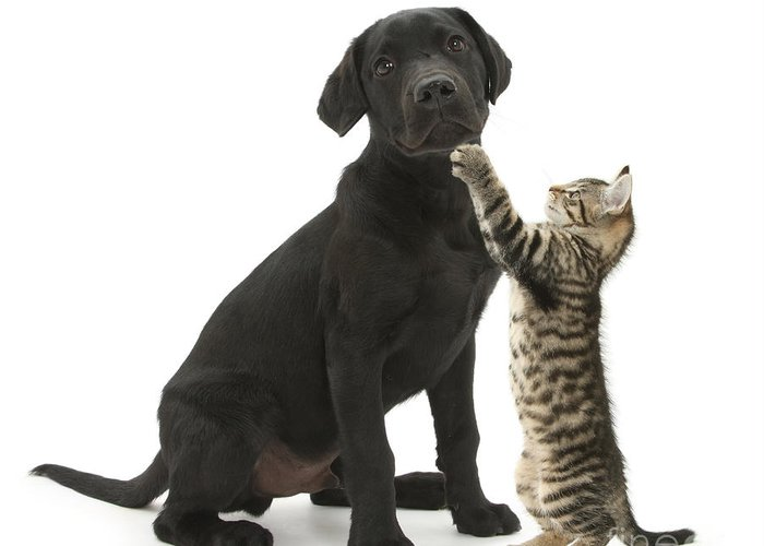Nature Greeting Card featuring the photograph Tabby Male Kitten & Black Labrador by Mark Taylor