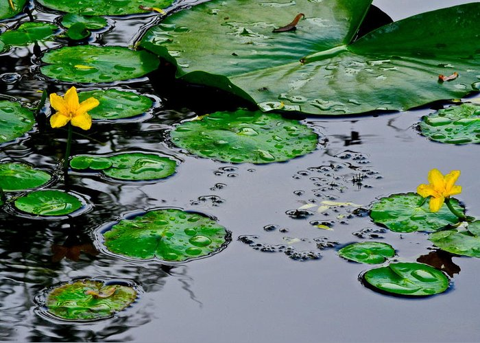 Lilly Greeting Card featuring the photograph Tadpole Haven by Frozen in Time Fine Art Photography