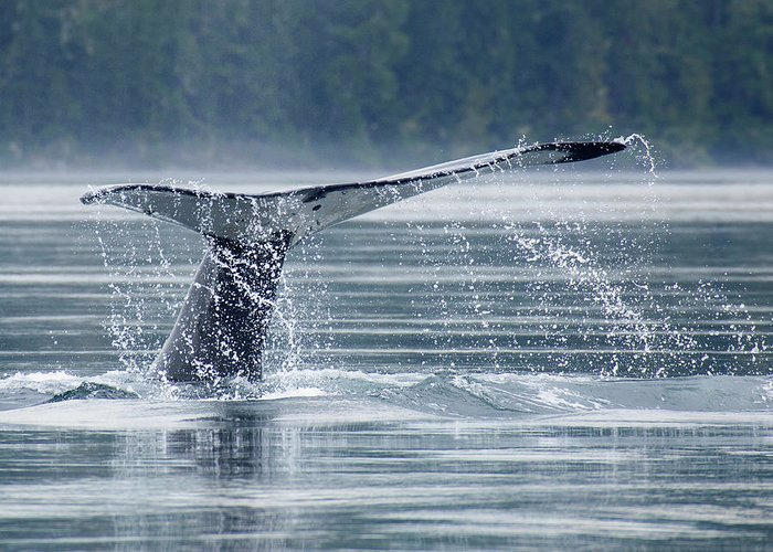 One Animal Greeting Card featuring the photograph Tail Of Humpback Whale by Grant Faint