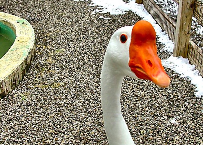 Geese Greeting Card featuring the photograph Taking A Gander... by Julie Dant