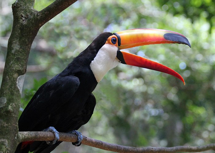 Toucan Greeting Card featuring the photograph Talkative Toucan by Ginny Barklow