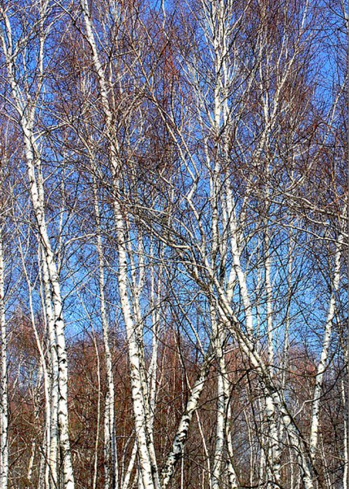 Trees Greeting Card featuring the photograph Tall White Birches by Anne Cameron Cutri
