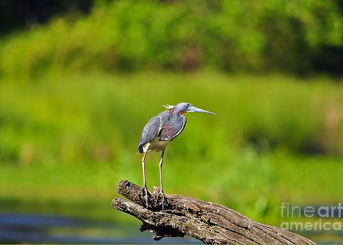 Heron Greeting Card featuring the photograph Tantalizing Tricolored by Al Powell Photography USA