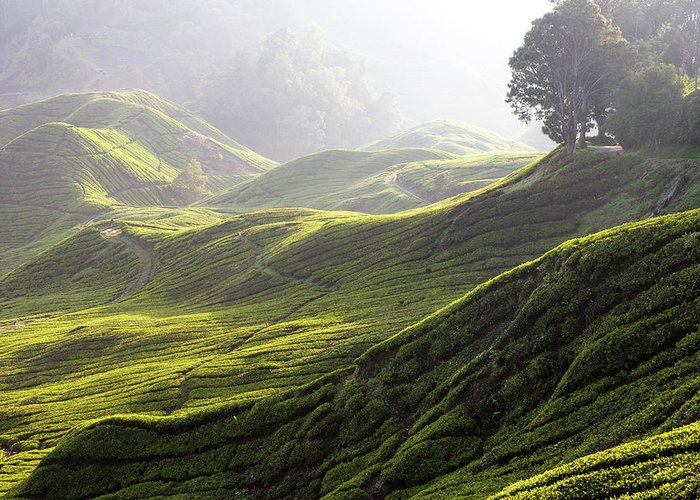 Tranquility Greeting Card featuring the photograph Tea Estate by Daniel Osterkamp