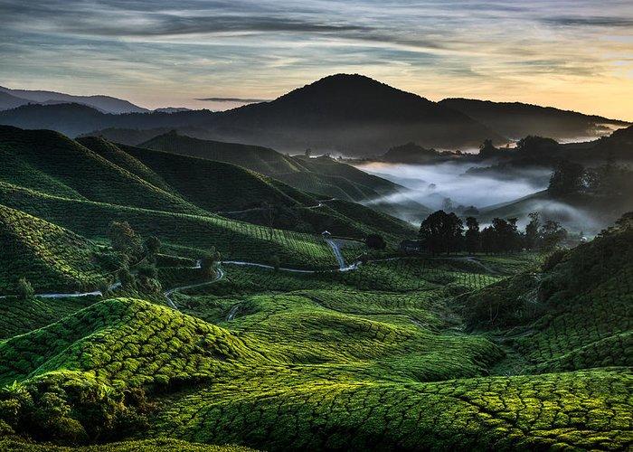 Tea Plantation Greeting Card featuring the photograph Tea Plantation At Dawn by Dave Bowman