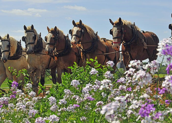 Horses Greeting Card featuring the photograph Teamwork by Dan Myers
