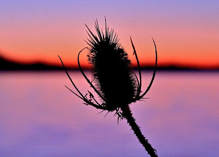 Teasle Greeting Card featuring the photograph Teasle by Catia Juliana
