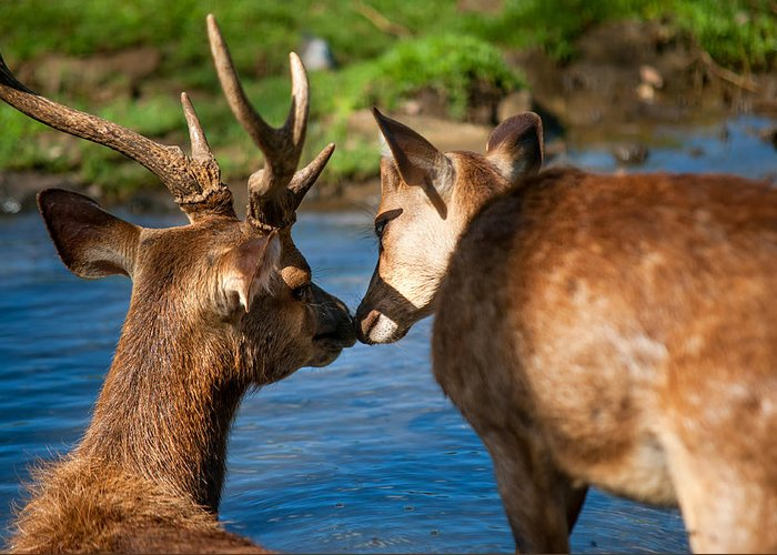 Kis Greeting Card featuring the photograph Tender Kiss. Deer In The Pamplemousse Botanical Garden. Mauritius by Jenny Rainbow