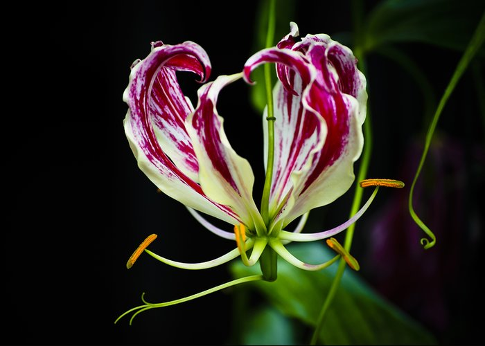 Stamen Greeting Card featuring the photograph Tendrils Of My Mind by Christi Kraft