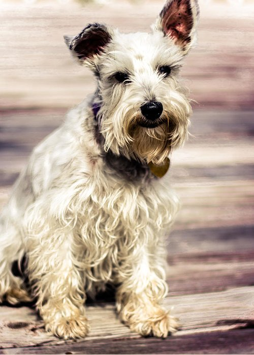 Lakeland Terrier Greeting Card featuring the photograph Terrier On Deck by Jon Cody