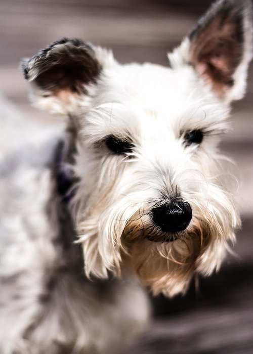 Lakeland Terrier Greeting Card featuring the photograph Terrier Upclose by Jon Cody