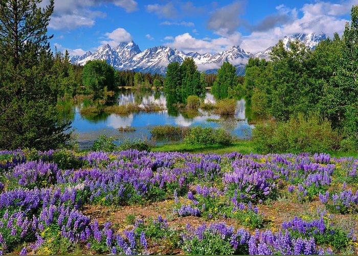 Grand Teton National Park Greeting Card featuring the photograph Teton Spring Lupines by Greg Norrell