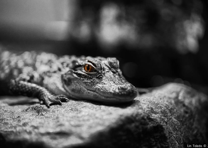 Visual Link Greeting Card featuring the photograph The Alligator's Eying You by Linda Leeming
