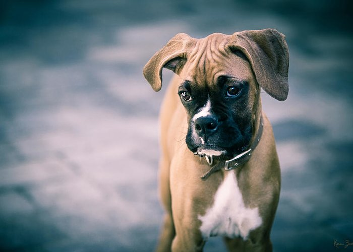 Boxer Greeting Cards