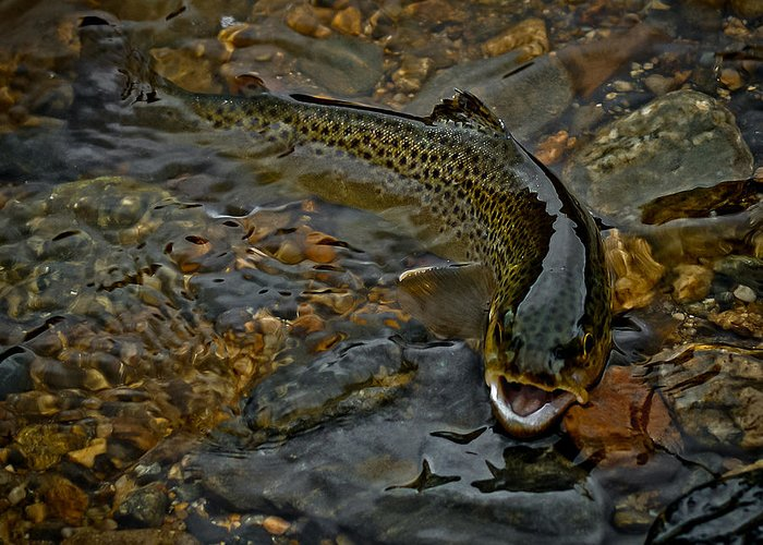 The Brown Trout Greeting Card featuring the photograph The Brown Trout by Ernie Echols