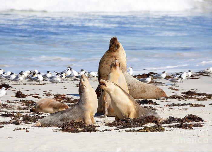 Australian Sea Lion Greeting Cards