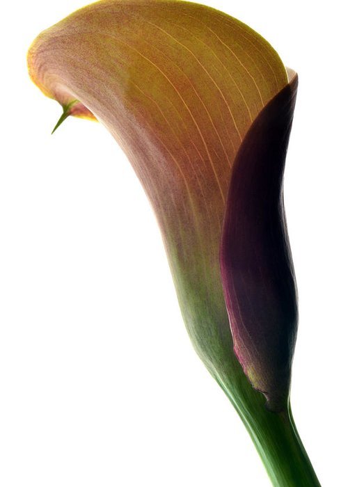 Calla Lily Greeting Card featuring the photograph The Colours Of Calla. by Terence Davis