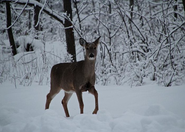 Deer Greeting Card featuring the photograph The Deer In The Snow by Debbie Nobile